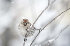 I miss Redpolls! (Jan.Timmons) Tags: commonredpollacanthisflammea snow highkey backyardbird nearfeeders bird female perched puffedupforwarmth jantimmons alaska irruption