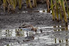 Godwit (Keith Grafton) Tags: leightonmoss godwit birds