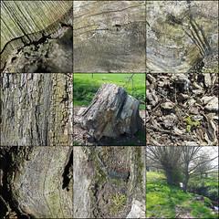 Habitat, near Cookhill, Warwicksshire (alanhitchcock49) Tags: short cookhill walk 8 april 2017 warwickshire dead tree stump wood old beetle trails habitat rotting tracks natures patterns textures tunnels