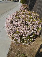 Arctostaphylos sp. Ericaceae-manzanita 4 (SierraSunrise) Tags: arctostaphylos california ericaceae flowers fresno fresnocounty manzanita ornamentals pink plants sanjoaquinvalley shrubs usa