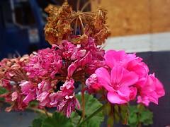 La vida de las Flores (DanyelGar001) Tags: flores flora flowers pink rosa mexico morelos inicio fin flower life