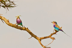 Lilac-Breasted Roller, Coracias caudatus. (jwsteffelaar) Tags: tanzania coraciascaudatus lilacbreastedroller