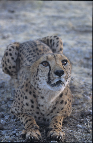 Cheetah female , very aggressive , Khorixas , Northern Namibia