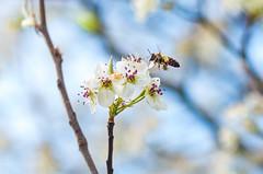 Bee! (justin.hamblin) Tags: bee pentax jhp justin hamblin k5iis 100mm macro spring alton illinois