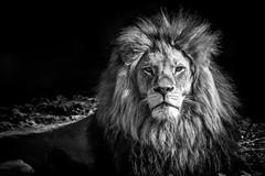 Löwe Benny (Roman Achrainer) Tags: löwe benny zoo tierpark hellabrunn münchen raubtier tiere tiergarten bayern achrainer