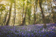 Sunset spring (jonathan le borgne) Tags: hallerbros jacinthe bois sousbois forêt forest wood green violet purple blue bluebell mauve threes light sunset shadow flor flower yellow canon canon1635f28iiusm canon6d flowers art poetry sun landscape spring new orange