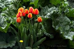 Tulipani rossi (Adriano_2) Tags: natura fiori piante tulipani rosso giallo giardini verde colori esterni cittàdilussemburgo giorno