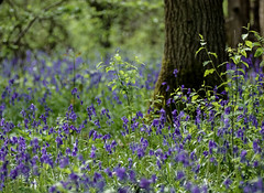 Beautiful Bells (Smudgie01) Tags: bluebells wildflower woodland wood ancientwood wildlifetrust flower nature