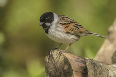REED BUNTING (_jypictures) Tags: reed bunting reedbunting animalphotography animals animal canon canon7d canonphotography wildlife wildlifephotography wiltshire nature naturephotography birdphotography bird birds birdwatching birding birdingphotography birders