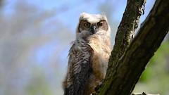 Great Horned Owlet ~ Blinkety Blink (PhillymanPete) Tags: greathornedowl raptor birdofprey owlet nature wildlife video bird bubovirginianus nikon d800e