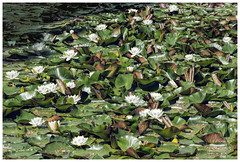 White Lily Pond (B.M.K. Photography) Tags: lilies waterlilies pond flowers water white green leaves