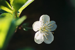 "CNV00034 (Malik""JJ""Degri) Tags: film cherry blossom flower"