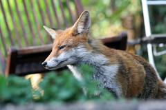 on top of the stairs (Sue Elderberry) Tags: fox animal garden wildlife daylight