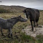 Irish horses thumbnail