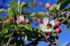 Spring is busy (Zsofia Nagy) Tags: ourdailychallenge spring tavasz bee bees bug flower flowers fleur blossom tree apple appletree sky almafa alma kert garden