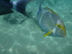 Hanauma-23 (jebigler) Tags: oahu hawaii2017 hanaumabay yellowfinsurgeonfish unitedstates hawaii honolulu 7455kalanianaolehighway