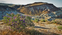Mojave SuperBloom (Daniel R Jordan) Tags: mojave desert california flowers brush mountains dry superbloom 2017 redrockcanyon statepark danieljordan outdoors desierto airelibre naturaleza nature unitedstates america west clearskies open ridgecrest