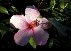 Portrait of H (Padmacara) Tags: australia fremantle hibiscus g11 flower plant shadowlight