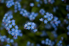 (rosemary*) Tags: 2017 5d planart1450 forgetmenot blue