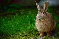 Rabbit (eugenio.mosca) Tags: nikon d5300 rabbit bunny coniglio grey grigio grass prato verde green animal animale