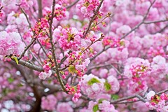 Double Flowered (tez-guitar) Tags: cherryblossom cherry spring flower blossoms bloom sakura yae pentax pentaxart petal tamron macro