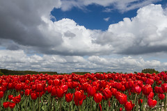 Dutch Flag (karindebruin) Tags: colors goereeoverflakkee kleuren nederland roodwitblauw sommelsdijk thenetherlands tulips tulpen zuidholland dutch flag redwhiteblue sky clouds