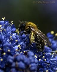 Bee on Californian Lilac (Garry Blackburn) Tags: bee californianlilac nature insect blue flower macro sonya77ii tamron90mm