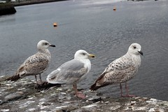 Three Herring Gulls. (mcginley2012) Tags: herringgull nature bird three gulls seagulls claddagh galway ireland conservation buoy