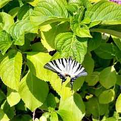 Butterfly (michellemätzig) Tags: nature europe butterfly flower light shadow day colour zebra blue green gras orange black white pink awesome incredible spring wow exciting good gorgeous best beautiful favorite fantastic
