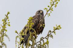 Beautiful dark morph Swainson's Hawk
