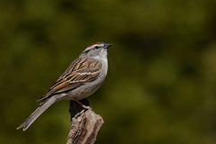 Bruant familier/Chipping sparrow (jean-francoislavallée) Tags: oiseau bird bruant familier chipping sparrow nature wildlife nikon sigma québec canada