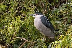 Night Heron (Nycticorax nycticorax) (DerekL1) Tags: shrewsbury thedingle nightheron nycticoraxnycticorax shropshire uk waterbird