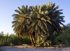 Very Large Palm Trees (isaac.borrego) Tags: uploadedviaflickrqcom morning mountains desert hotsprings bigbend nationalpark texas canonrebelt4i