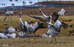 Dancing Eurasien Cranes (grus grus) (m3dborg) Tags: common cranes eurasian grus dancing trandans trandansen hornborgasjön bird birds animal animals wildlife wilderness outdoor outdoors natural nature skara lake sony a77ii tamron 150600