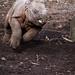 Young rhino