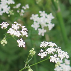 Cow Parsley (msganching) Tags: cowparsley spring countryside white flowers