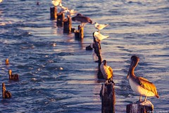 In the golden light. (moony: stupidly dreamy) Tags: bird water birds golden evening afternoon florida pelican line diagonal queue keywest sunrays