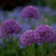 Allium against blue (alphajoerg) Tags: leica macro r 60 elmarit