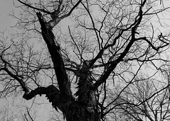 Oak (claytoncummings) Tags: blackandwhite tree oak
