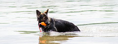 Kastle Swims 2013-06-07-5 (falon_167) Tags: dog shepherd german gsd germanshepherddog kastle