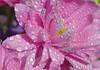 UNTITLED (mutter2009 *OFF*) Tags: pink flowers macro drops fa coth nikond60 diamondclassphotographer flickrdiamond macroflowerlovers alittlebeauty