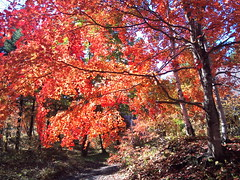 Colored Leaves (biscorogus) Tags: autumn red tree fall leaves japan landscape japanese maple momiji  colored       coloredtree