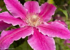 Clematis (David S Wilson) Tags: uk flowers england flower ely fens lightroom flowersplants 2013 wonderfulworldofflowers fujifilmx100 davidswilson adobelightroom4