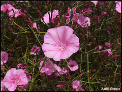 Convolvulus dorycnium (Zachi Evenor) Tags: flowers flower nature forest israel ben  benshemen    modiin convolvulus shemen      dorycnium  convolvulusdorycnium  zachievenor
