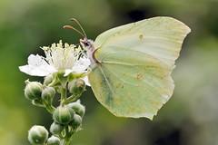 Beauty () Tags: flower macro yellow butterfly photography photo foto photographer photos fotografia fiore farfalla stefano fotografo gialla trucco tamron90 gonepteryx zush stefanotrucco