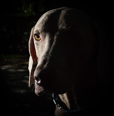 IMG_3963 (garyblessington) Tags: dog weimaraner cooper