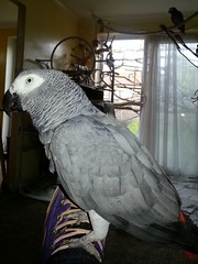 (.Pip.) Tags: bird grey african parrot congo flickrandroidapp:filter=none