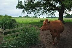 A 'Cow Crossing'! (AJFpicturestore) Tags: cow fuji farming farmland hff xe1 fencefriday