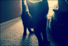 (K. Sawyer Photography) Tags: light black kitten foster tiny a1671661