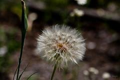 Dandelion? (Lallee) Tags: ball puff grand dandelion bloom wyoming teton